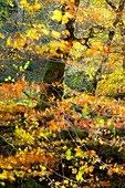 Atlantic forest in autumn in the Saja-Besaya Natural Park, Cantabria, Spain