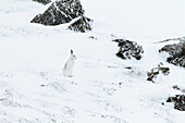 Alps, alpine, fauna, mountain, mountains, Cairngorms, ice, fauna, fur, cliff, mountains, hare, rabbit, highlands, cold, living space, Lepus timidus, Mountain Hare, national park, park, ears, snow, Scotland, Great Britain, Snowshoe Hare, stone, mammal, cam