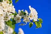 Agrarian, branch, knot, tree, pear tree, pear, pears, leaves, blossom, flourish, flower, splendour, detail, flora, spring, sky, pomes, pomes plants, agriculture, macro, close_up, nature, fruit, fruit_tree, Oetwil am See, plant, Pyrus domestica, Ranunculus
