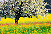 Agrarian, tree, trunk, blossom, flourish, flower, splendour, Cerasus, field, flora, spring, crowfoot, buttercup, sky, cherry tree, cherry tree blossom, flourish, cherry, agriculture, dandelion, nature, fruit, fruit_tree, Oetwil am See, plant, sorrel, crow