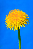 flower, flowers, blossom, flower, splendour, blossom, flourish, detail, spring, background, dandelion, dandelion, macro, close_up, nature, blowball, sunshine, Switzerland, Taraxacum officiale, Zurich uplands, Zurich, blue, blue sky, blossom, release close