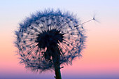 Flower, detail, dusk, twilight, flora, flight, reproduction, back light, sky, ease, light, air, dandelion, macro, close_up, plant, puff, blowball, blowing, seed, silhouette, Switzerland, silhouette, sun, sunrise, Taraxacum officiale, withering, fly, repro