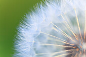 Flower, detail, flora, reproduction, ease, dandelion, dandelion, macro, pattern, sample, close_up, plant, puff, blowball, blowing, seed, Switzerland, Taraxacum officiale, withering, close up, reproduce, withers graphical, light, weightless, pass, white, t