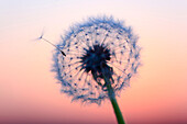 Flower, detail, dusk, twilight, flora, flight, reproduction, back light, sky, ease, light, air, dandelion, macro, morning, Morning_red, close_up, plant, puff, blowball, blowing, seed, silhouette, Switzerland, silhouette, sun, sunrise, Taraxacum officiale,