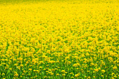 Agrarian, agriculture, cultivation, outhouse, Brassica napus, field, spring, agriculture, oil, Oetwil am See, plant, rape, rape field, Switzerland, Zurich uplands, canton Zurich, plants, bright, yellow, graphical, pattern, sample, green, . Agrarian, agric