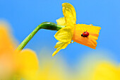 2, Adalia bipunctata, flower, flowers, splendour, blossom, flourish, Coccinellidae, detail, field, spring, garden, garden flower, yellow narcissus, sky, insect, beetle, macro, ladybird, pattern, sample, close_up, Narcissus pseudonarcissus, narcissus, mois