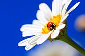 2, Adalia bipunctata, blossom, flower, flowers, splendour, flower meadow, blossom, flourish, blossoms, flourishes, petal, petals, Coccinellidae, detail, color, freshness, spring, spring, spring, garden, garden flower, sky, insect, beetle, Leucanthemum vul