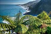 Punga tree ferns above rugged beaches, Paparoa National Park, West Coast
