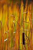 Common Cattail (Typha latifolia) Autumn colours developing Rosseau, Ontario
