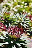 Pflanzen im Jardin Canario, Tafira, Gran Canaria, Kanarische Inseln, Spanien