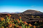 Weinanbau auf Lava, Anbaugebiet La Geria, Lanzarote, Kanarische Inseln, Spanien, Europa