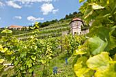 Vineyard, winegrowing, Saale, Unstrut, Freyburg, Saxony-Anhalt, Germany
