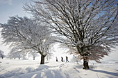 Snow covered beech trees and hikers, Schauinsland, near Freiburg im Breisgau, Black Forest, Baden-Wurttemberg, Germany