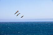 Seagulls above Pacific Ocean, Big Sur coast, California, USA, America