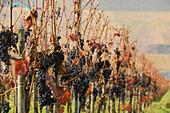 Grape vines at Uerzig, Uerzig, Rhineland Palatinate, Germany