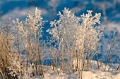 Hoar-frost in winter, grass, snow, Bavaria, Germany