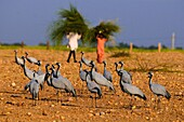 Demoiselle cranes Anthropoides virgo, hibernation, standing on dry fields in front of a couple of farmers, wearing cutten grass on their heads, rural scenery, Khichan near Phalodi, Rajasthan, India