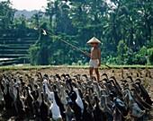 Asian, Bali, Balinese, boy, flock, geese, hat, herd. Asian, Bali, Asia, Balinese, Boy, Flock, Geese, Hat, Herd, Herding, Holiday, Indonesia, Indonesian, Landmark, Livestock, Outdoor