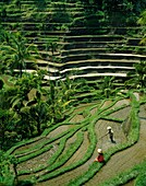 agricultural, agriculture, Bali, crop, farmers, far. Agricultural, Agriculture, Bali, Asia, Crop, Farmers, Farming, Flooding, Grow, Growing, Holiday, Indonesia, Irrigating, Irrigati
