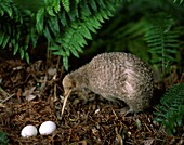 animal, anticipation, anxious, bird, careful, eggs, . Animal, Anticipation, Anxious, Bird, Careful, Eggs, Ferns, Flightless, Future, Holiday, Kiwi, Landmark, Nest, New zealand, Plant