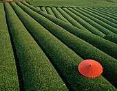 agriculture, contrast, fields, green, Japan, Asia, . Agriculture, Asia, Contrast, Fields, Green, Holiday, Japan, Landmark, Maze, Pattern, Patterns, Red, Repetition, Repetitions, Row