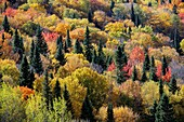 Autumn color in forest, New Brunswick, Canada