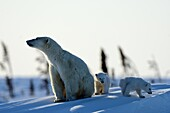 Polar bear mother Ursus maritimus with two 3 months old cubs, coming out of the den in March  Wapusk National Park, Churchill, Manitoba, Canada