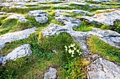 Detail of the karst landscape of the Burren, County Clare, Ireland, Europe