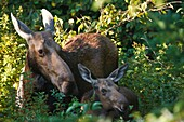 Moose and calf on the side of the Kancamagus Highway route 112, which is one of New England´s scenic byways in the White Mountains, New Hampshire USA