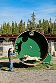 Alaskan Huskey sled dog on training wheel at Jeff King´s Huskey Homestead Kennel, Denali, Alaska, USA