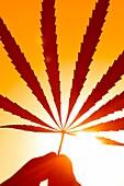 Cannabis leaf  Cannabis sativa