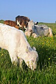 Cow and Calves CATTLE FARMING Calf grazing buttercup grass field Beef cow looking on