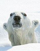Polar bear using crack in sea ice to swim and hunt ringed seal