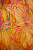 Colourful Koto No Ito Japanese Maple in the Fall