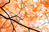 Beautiful Maple Canopy in Autumn just before the Fall