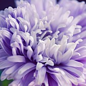 Gorgeous Full Bloom Blue Aster