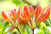 Lovely Orange Azalea Buds, Harmony in Nature
