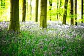 Joyous Bluebell Wood
