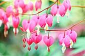Wonderful Pink Bleeding Heart Stems in Spring, Flowering Through Summer