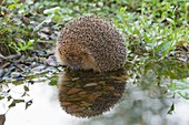 Hedgehog Erinaceus europaeus, drinking at garden pond, Lower Saxony, Germany
