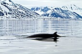 Adult common northern minke whale Balaenoptera acutorostrata sub-surface feeding in the rich waters of Woodfjord off the northwest side of Spitsbergen in the Svalbard Archipelago, Norway  MORE INFO The minke whale is the second smallest baleen whale - onl