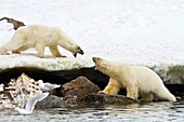 Mother polar bear Ursus maritimus and COY cub-of-year disputing and then allowing a male bear to feed on a fin whale carcass in Holmabukta on the northwest coast of Spitsbergen in the Svalbard Archipelago, Norway  MORE INFO The IUCN now lists global warmi