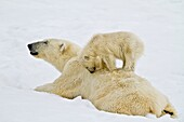 Mother polar bear Ursus maritimus with COY cub-of-year in Holmabukta on the northwest coast of Spitsbergen in the Svalbard Archipelago, Norway  MORE INFO The IUCN now lists global warming as the most significant threat to the polar bear, primarily because