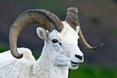Adult Dall sheep Ovis dalli in Denali National Park, Alaska, USA  MORE INFO It takes a Dall ram about eight years to grow the majestic, circular horns that are the trademark of this species, these horns are made of keratin, the same substance as fingernai