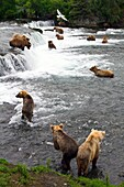 A view from the Park Service platform where adult brown bear Ursus arctos forage for salmon at the Brooks River in Katmai National Park near Bristol Bay, Alaska, USA  Pacific Ocean  MORE INFO Every July salmon spawn in the river between Naknek Lake and Br
