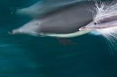 Long-beaked common dolphin pod Delphinus capensis bow riding the National Geographic Sea Bird near Isla del Carmen within the Parque Nacional Bahia de Loreto Loreto Bay National Park in the southern Gulf of California Sea of Cortez, Baja California Sur, M