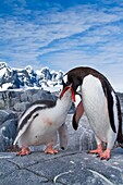 Gentoo penguins Pygoscelis papua adult feeding chick in Antarctica, Southern Ocean  MORE INFO The gentoo penguin is the third largest of all penguins worldwide, with adult gentoos reaching a height of 51 to 90 cm 20-36 in There are an estimated 80, 000 br