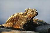 The endemic marine iguana Amblyrhynchus cristatus in the Galapagos Island Group, Ecuador  This is the only marine iguana in the world, with many of the main islands having it´s own subspecies  Pacific Ocean
