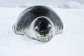 An adult leopard seal Hydrurga leptonyx hauled out and resting among the icebergs in the Ererra Channel near the west Coast of the Antarctic peninsula, southern ocean  This seal is the only pinniped known to have attacked and killed a human being in Antar