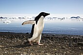 Adult Adelie penguin Pygoscelis adeliae marching down the beach and preparing to enter the ocean on Devil Island, Antarctic Peninsula  Adelie penguins are truly an ice dependant penguin species